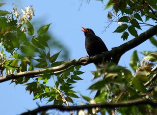 Oiseau chantant